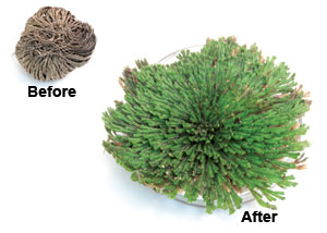 Resurrection Plant